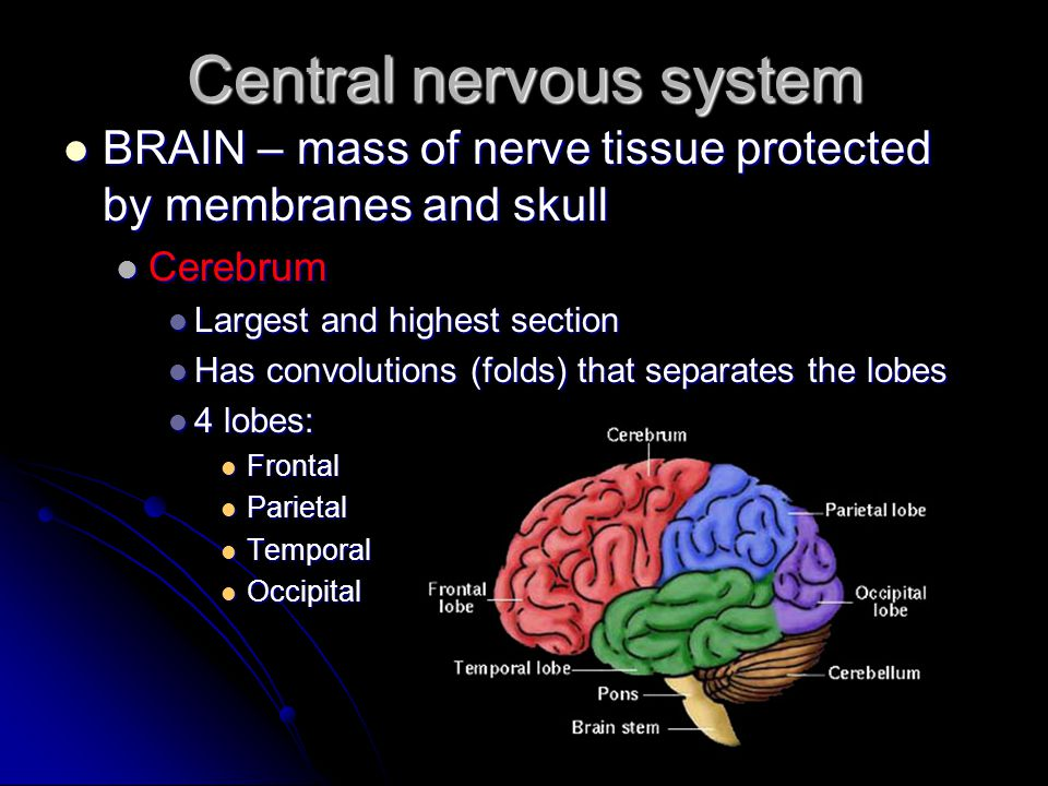 Central nervous system BRAIN – mass of nerve tissue protected by membranes and skull BRAIN – mass of nerve tissue protected by membranes and skull Cer
