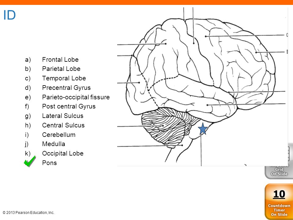© 2013 Pearson Education, Inc. ID a)Frontal Lobe b)Parietal Lobe c)Temporal Lobe d)Precentral Gyrus e)Parieto-occipital fissure f)Post central Gyrus g
