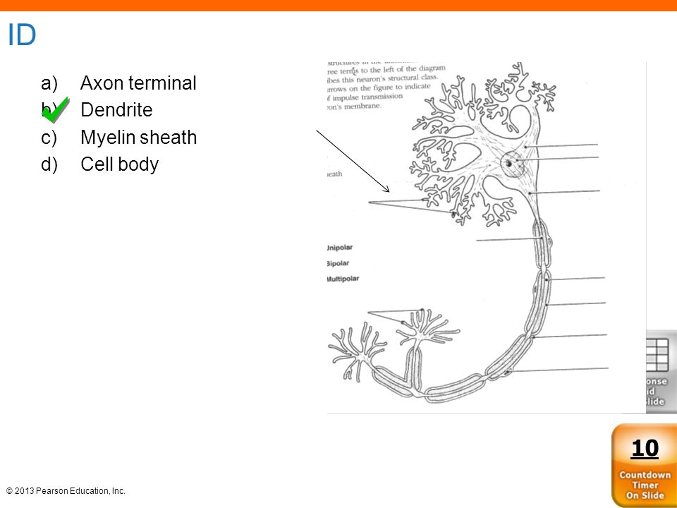 © 2013 Pearson Education, Inc. ID a)Axon terminal b)Dendrite c)Myelin sheath d)Cell body 10