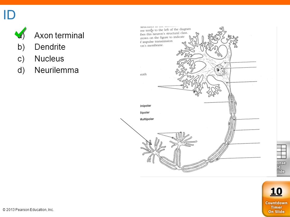 © 2013 Pearson Education, Inc. ID a)Axon terminal b)Dendrite c)Nucleus d)Neurilemma 10