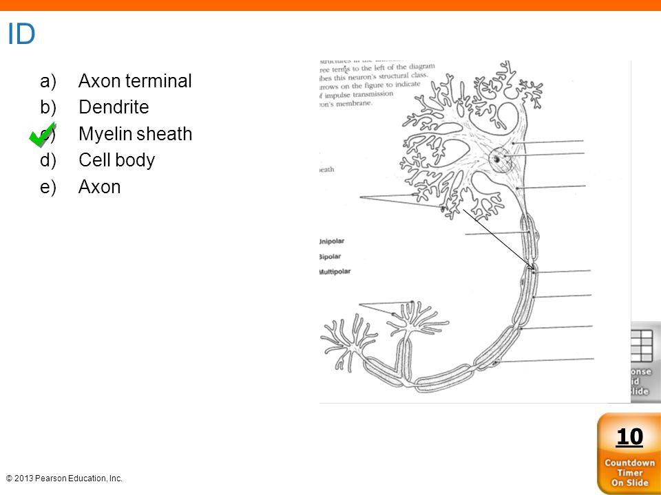 © 2013 Pearson Education, Inc. ID a)Axon terminal b)Dendrite c)Myelin sheath d)Cell body e)Axon 10