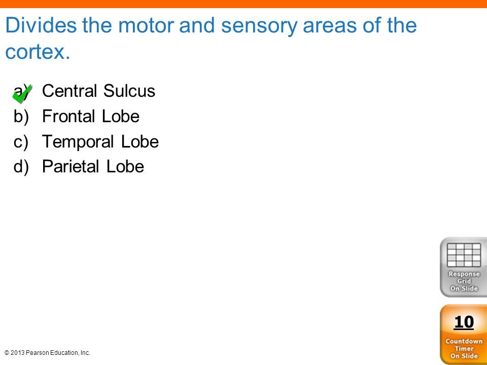 © 2013 Pearson Education, Inc. Divides the motor and sensory areas of the cortex. a)Central Sulcus b)Frontal Lobe c)Temporal Lobe d)Parietal Lobe 10