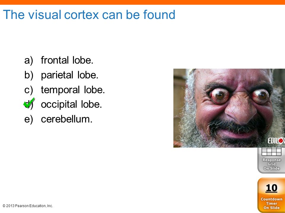 © 2013 Pearson Education, Inc. The visual cortex can be found a)frontal lobe. b)parietal lobe. c)temporal lobe. d)occipital lobe. e)cerebellum. 10