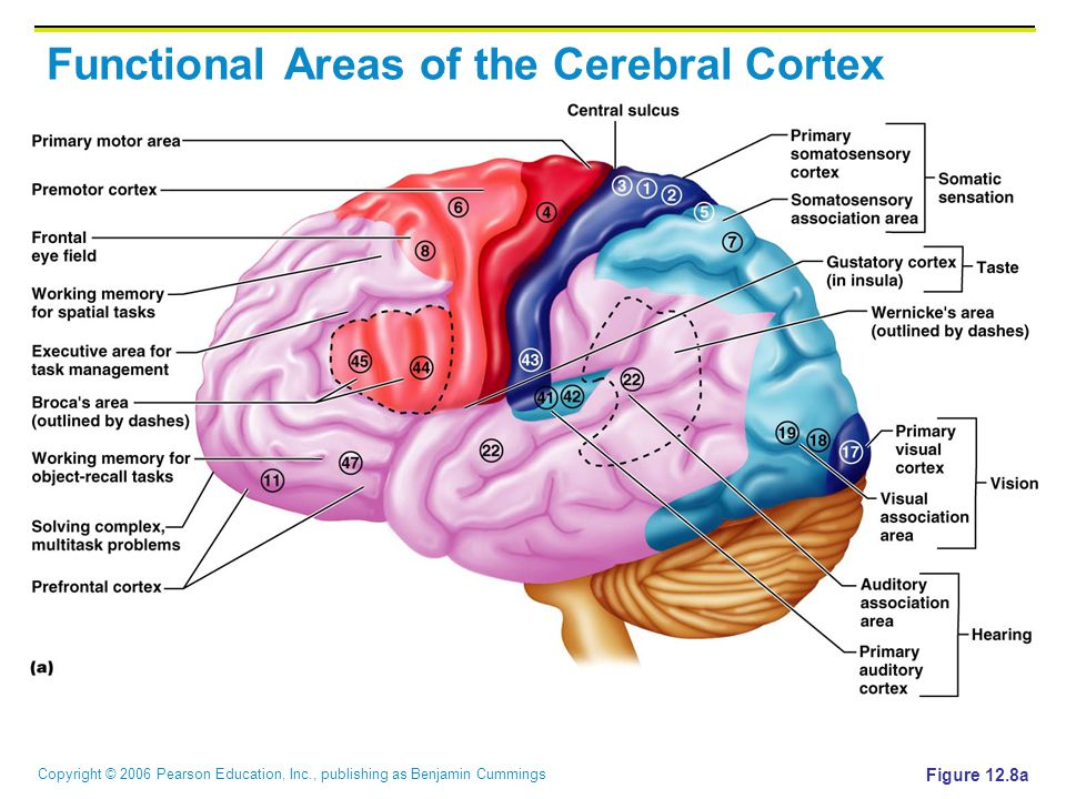 Copyright © 2006 Pearson Education, Inc., publishing as Benjamin Cummings Functional Areas of the Cerebral Cortex Figure 12.8a