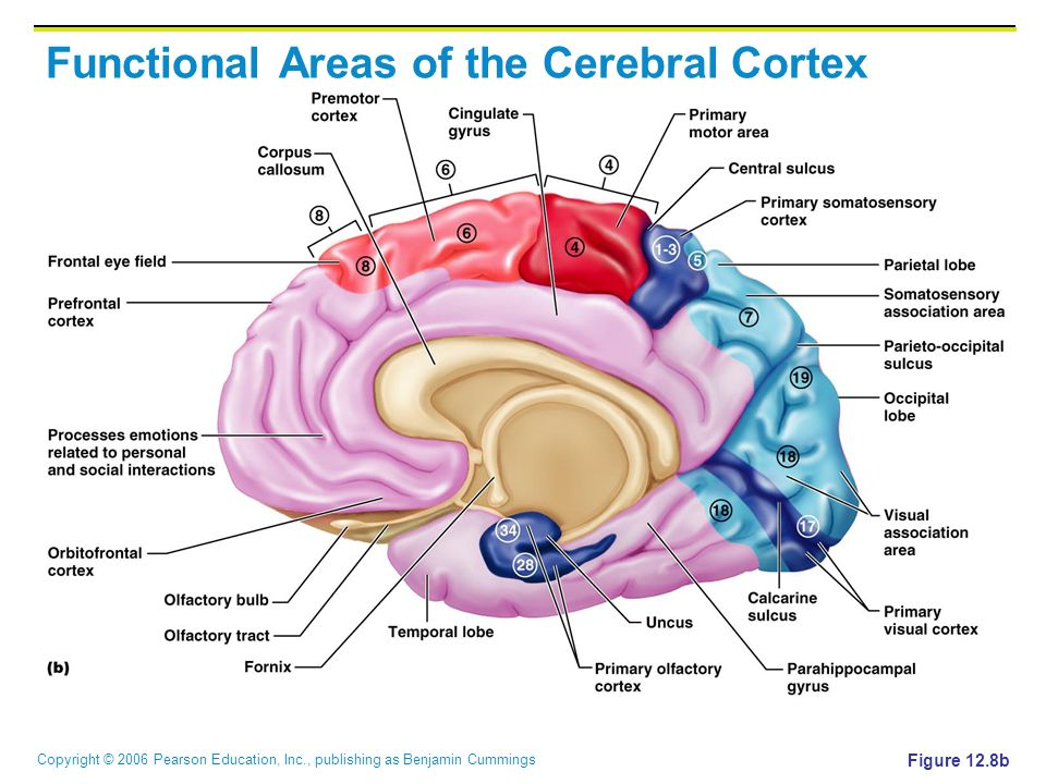 Copyright © 2006 Pearson Education, Inc., publishing as Benjamin Cummings Functional Areas of the Cerebral Cortex Figure 12.8b