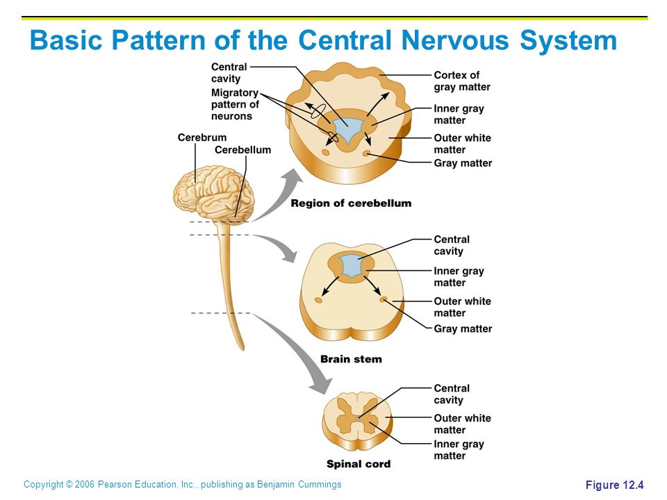 Copyright © 2006 Pearson Education, Inc., publishing as Benjamin Cummings Basic Pattern of the Central Nervous System Figure 12.4