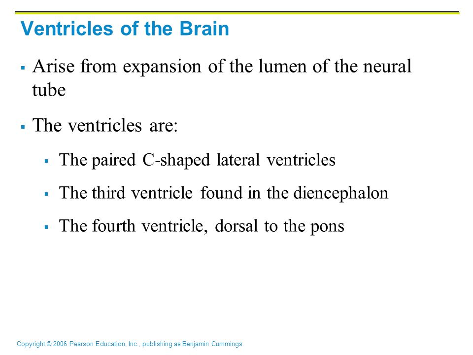 Copyright © 2006 Pearson Education, Inc., publishing as Benjamin Cummings Ventricles of the Brain  Arise from expansion of the lumen of the neural tube  The ventricles are:  The paired C-shaped lateral ventricles  The third ventricle found in the diencephalon  The fourth ventricle, dorsal to the pons
