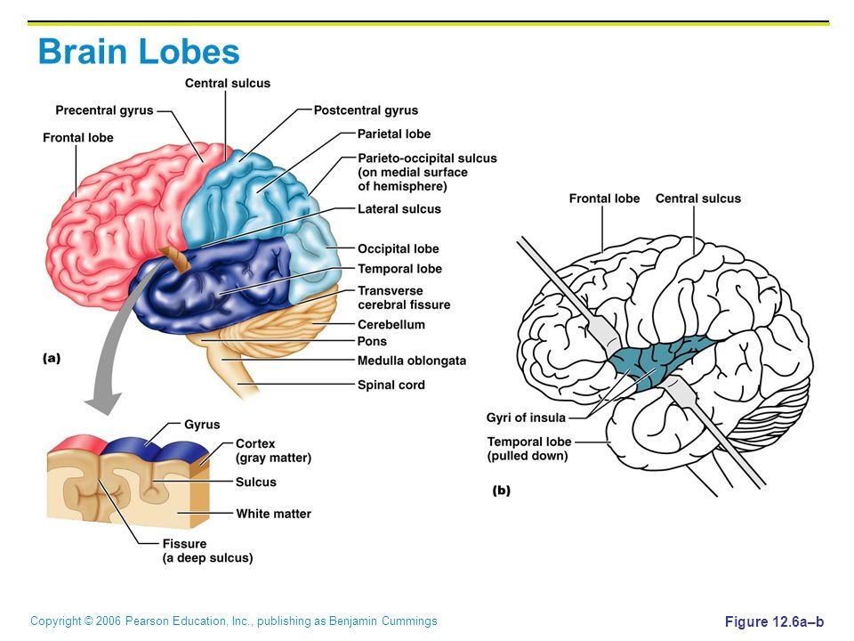 Copyright © 2006 Pearson Education, Inc., publishing as Benjamin Cummings Brain Lobes Figure 12.6a–b