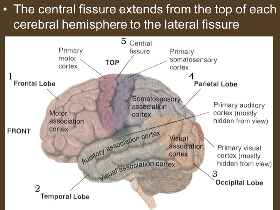 The central fissure extends from the top of each cerebral hemisphere to the lateral fissure