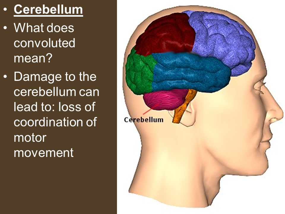 Cerebellum What does convoluted mean? Damage to the cerebellum can lead to: loss of coordination of motor movement