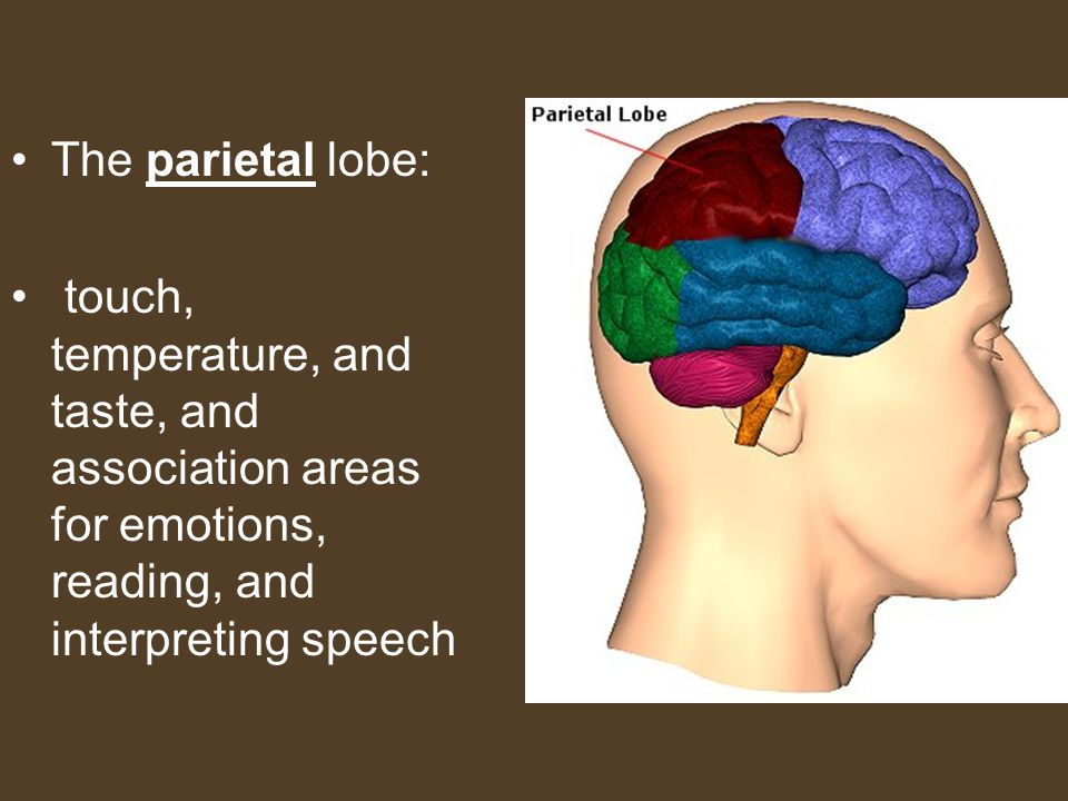 The parietal lobe: touch, temperature, and taste, and association areas for emotions, reading, and interpreting speech