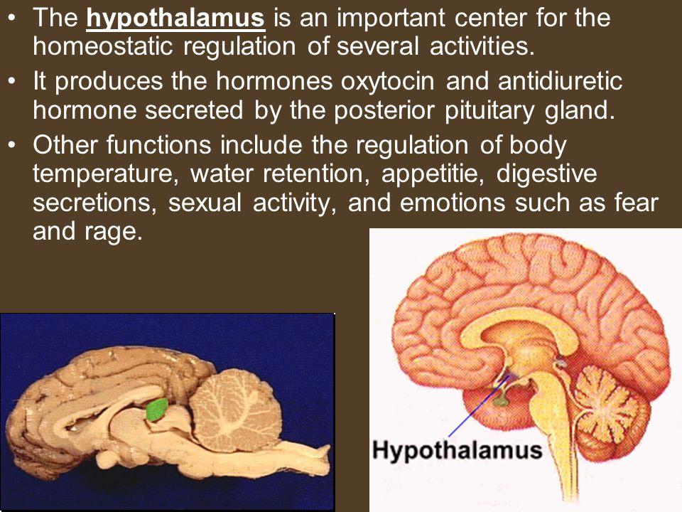 The hypothalamus is an important center for the homeostatic regulation of several activities. It produces the hormones oxytocin and antidiuretic hormo