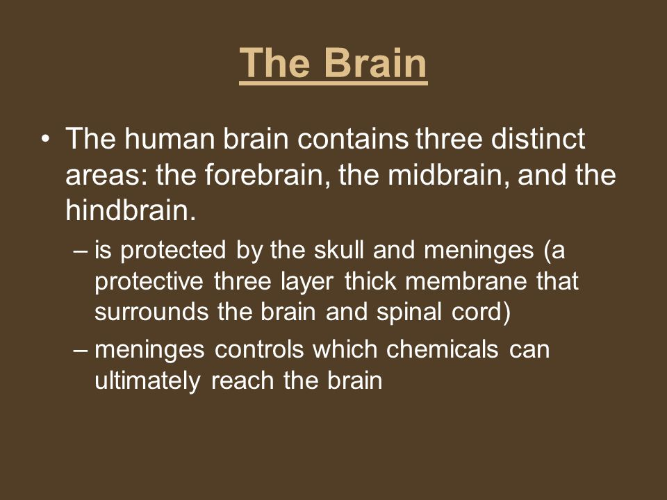 The Brain The human brain contains three distinct areas: the forebrain, the midbrain, and the hindbrain. –is protected by the skull and meninges (a pr