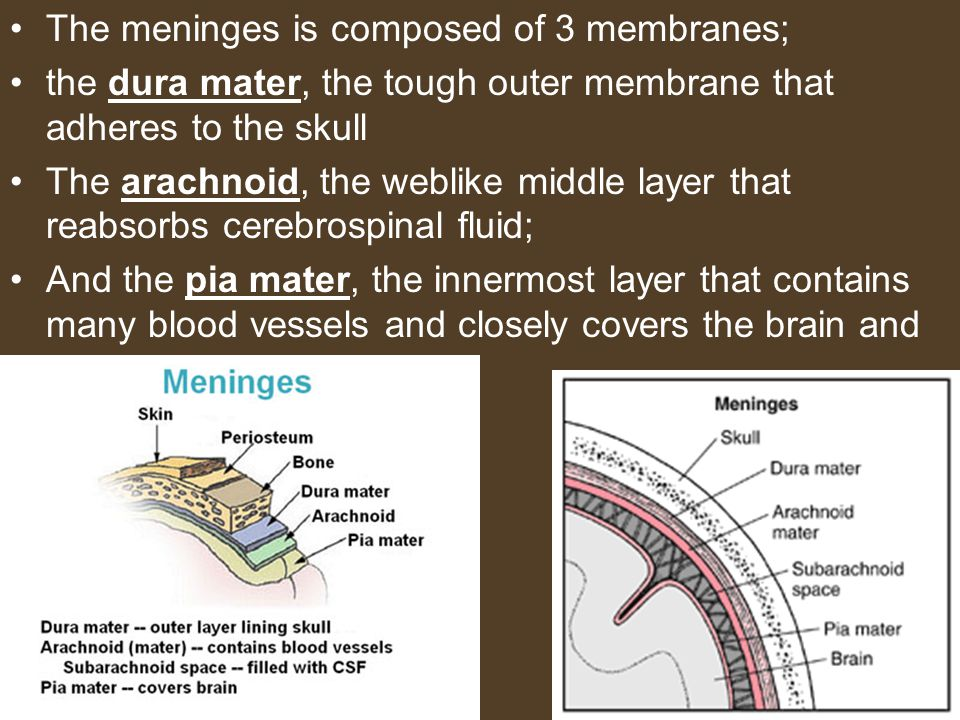 The meninges is composed of 3 membranes; the dura mater, the tough outer membrane that adheres to the skull The arachnoid, the weblike middle layer th