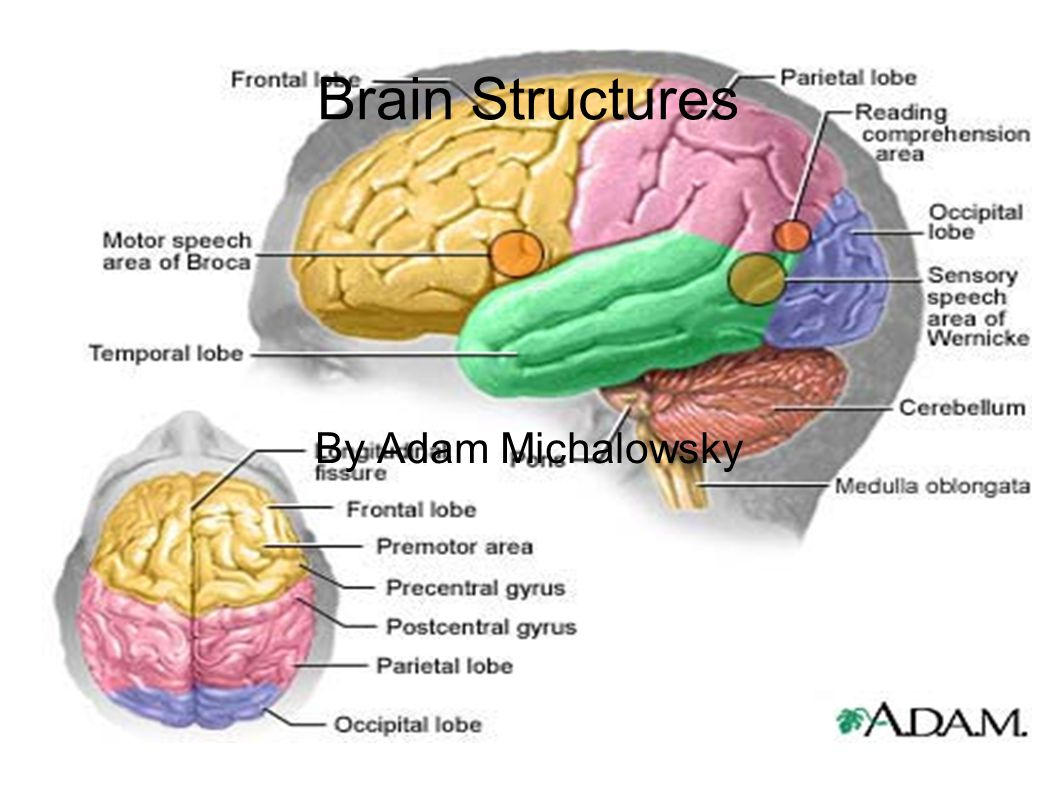 Brain Structures By Adam Michalowsky