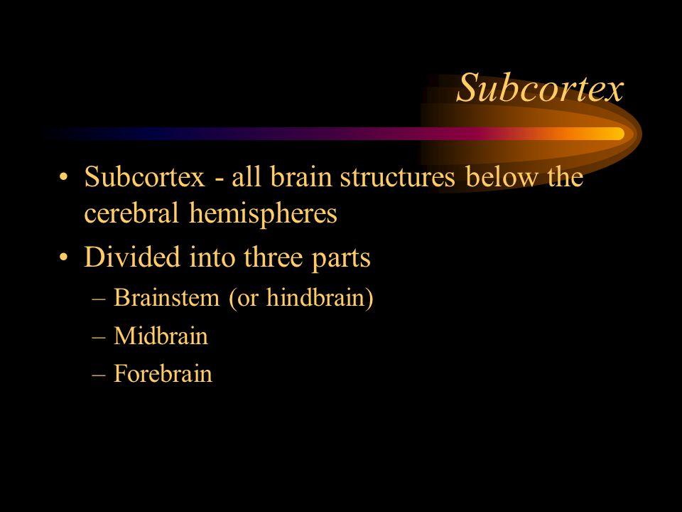 Subcortex Subcortex - all brain structures below the cerebral hemispheres Divided into three parts –Brainstem (or hindbrain) –Midbrain –Forebrain