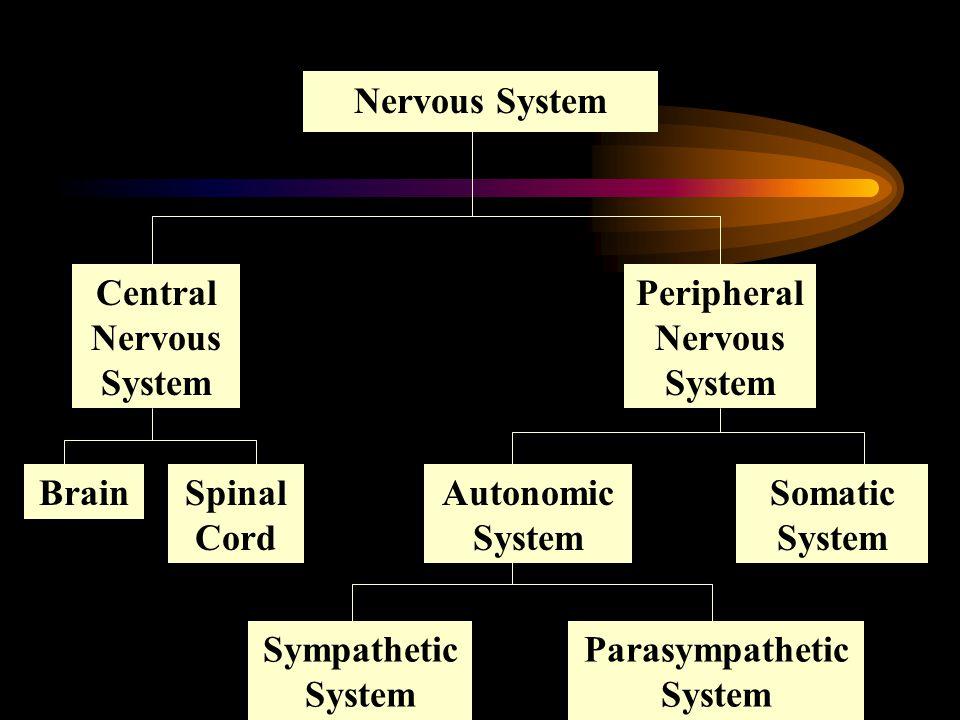 Nervous System Central Nervous System Peripheral Nervous System BrainSpinal Cord Autonomic System Somatic System Sympathetic System Parasympathetic System