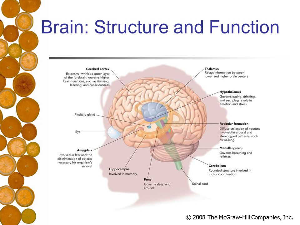 © 2008 The McGraw-Hill Companies, Inc. Brain: Structure and Function