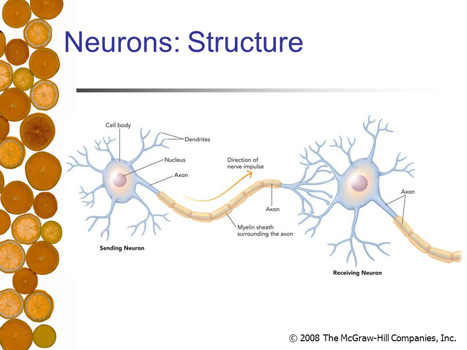 © 2008 The McGraw-Hill Companies, Inc. Neurons: Structure