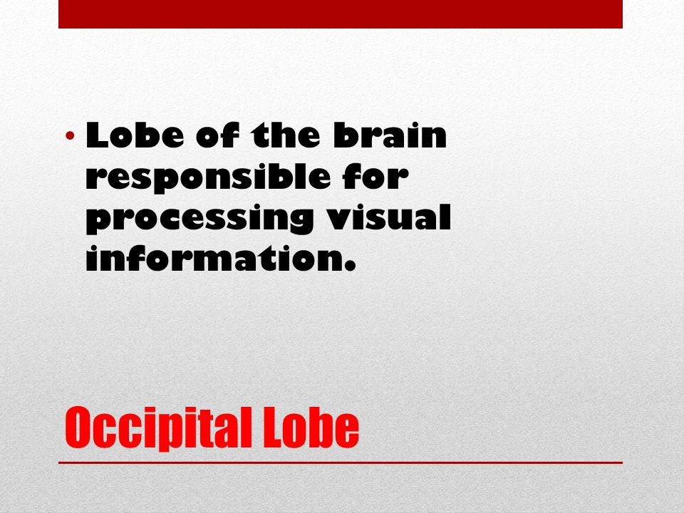 Occipital Lobe Lobe of the brain responsible for processing visual information.