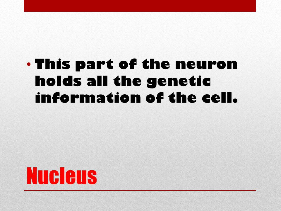Nucleus This part of the neuron holds all the genetic information of the cell.