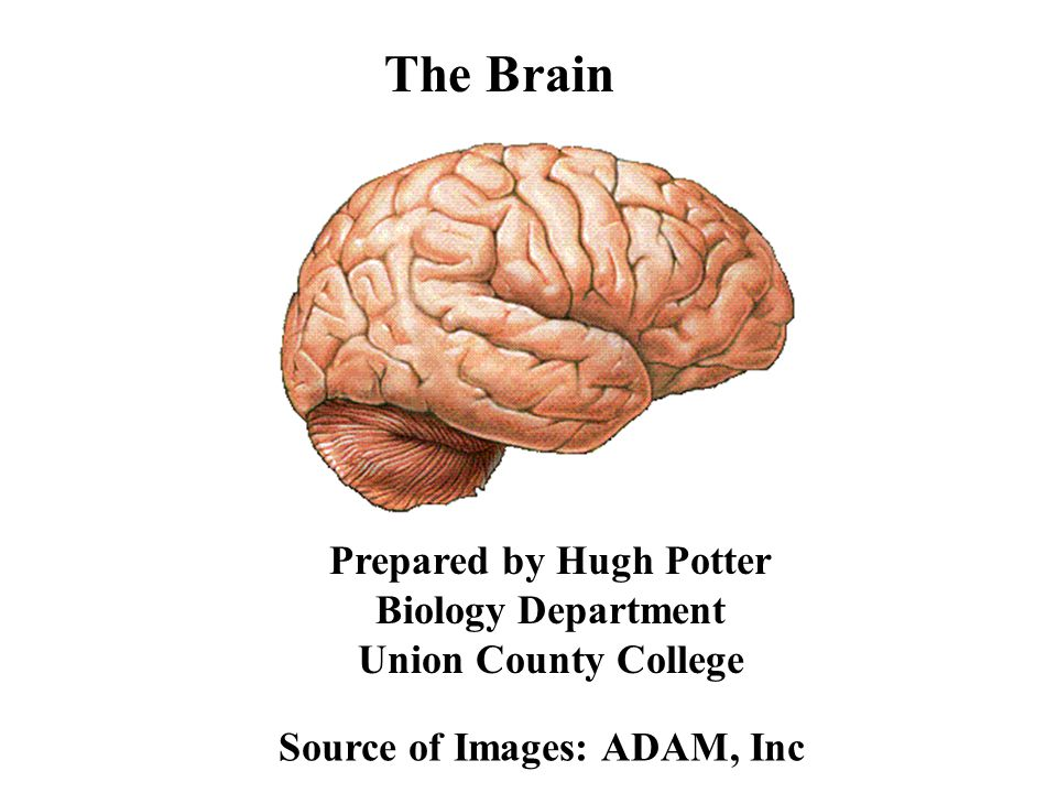 A C B D I The Cerebrum A - Frontal Lobe B - Parietal Lobe C - Temporal Lobe D - Occipital Lobe II The Cerebellum THE BRAIN - LATERAL VIEW II