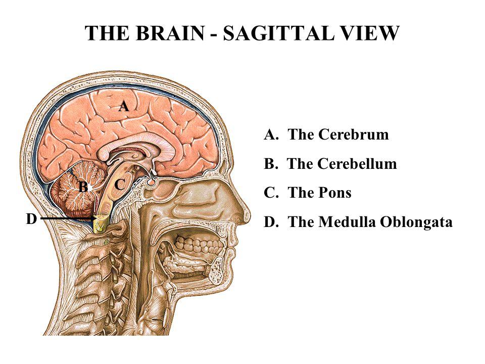 THE BRAIN - SAGITTAL VIEW A B C D A. The Cerebrum B. The Cerebellum C. The Pons D. The Medulla Oblongata