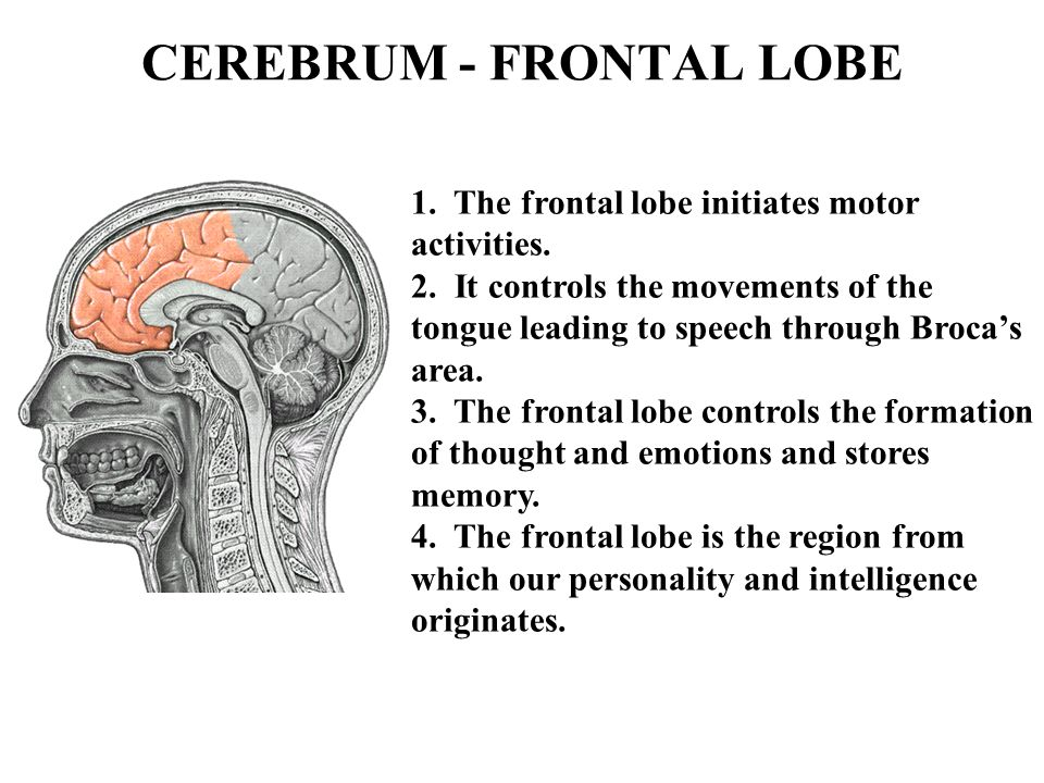 CEREBRUM - FRONTAL LOBE 1. The frontal lobe initiates motor activities. 2. It controls the movements of the tongue leading to speech through Broca's a