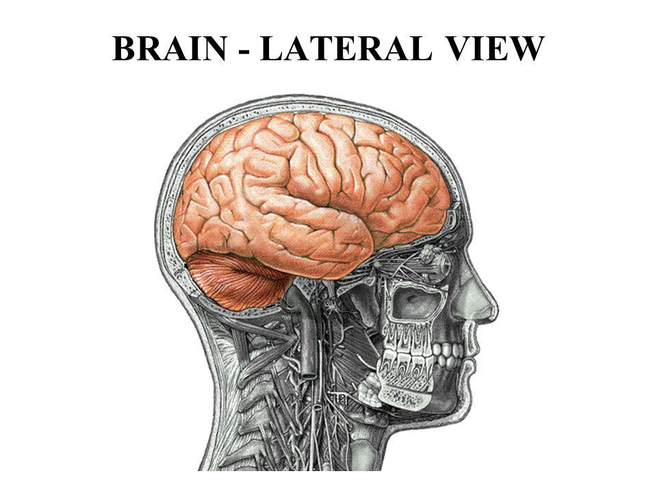 CEREBRUM - FRONTAL LOBE 1.The frontal lobe initiates motor activities.