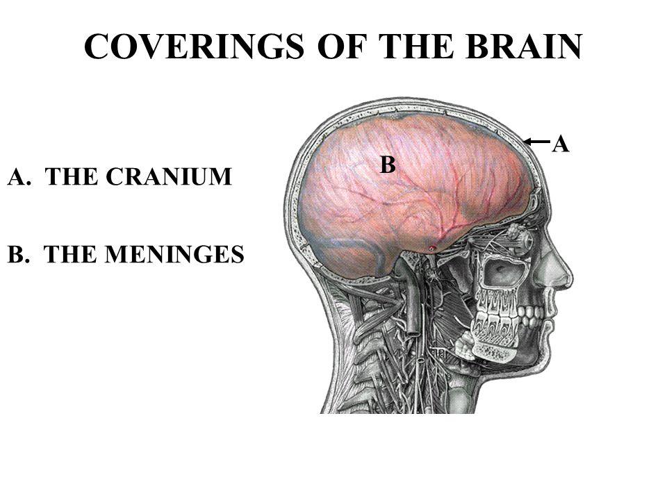 CEREBRUM - PARIETAL LOBE The Parietal lobe receives sensory nerve information from various regions of the body, especially the skin.