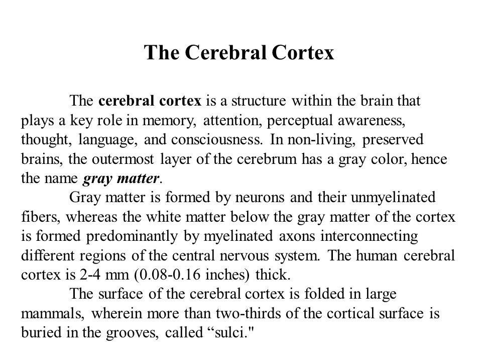 CEREBELLUM The cerebellum is located posterior to the pons and medulla oblongata.