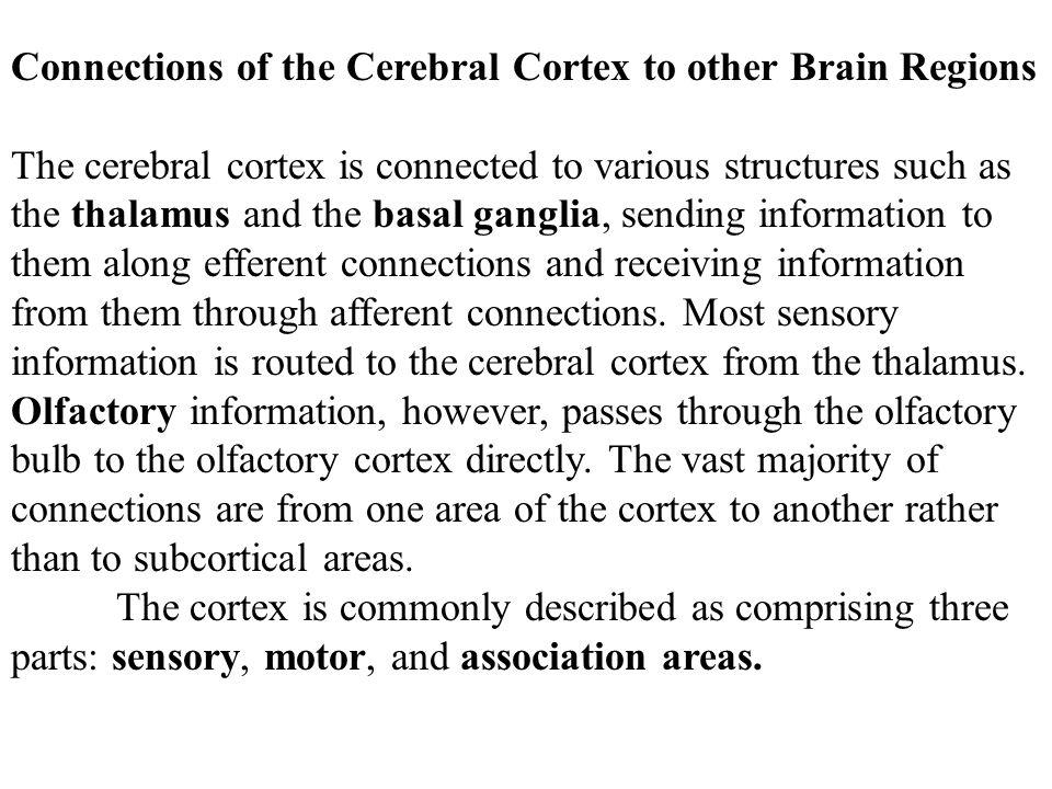 The Brain Stem The brain stem is the last major portion of the brain.