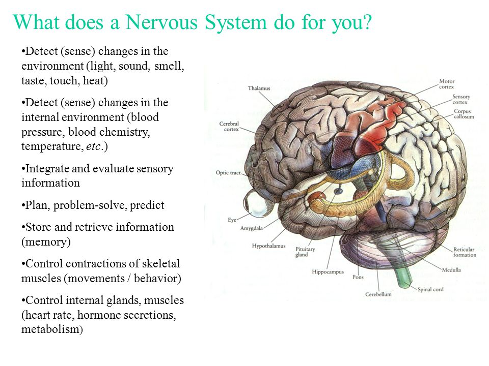 The Nervous System Organization Central Nervous System - completely surrounded by bone - suspended in cerebrospinal fluid - covered by meninges - protected by blood-brain barrier Peripheral Nervous System - nerves leaving and entering the CNS - motor nerves = control muscles and glands - sensory nerves = transmit information to the CNS from sensory receptors.