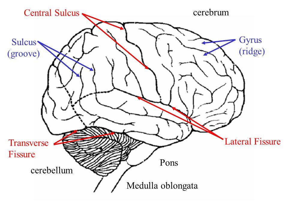 cerebrum cerebellum Pons Medulla oblongata Central Sulcus Lateral Fissure Transverse Fissure Gyrus (ridge) Sulcus (groove)