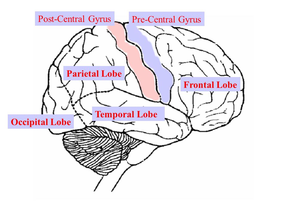 Temporal Lobe Frontal Lobe Parietal Lobe Occipital Lobe Pre-Central Gyrus Post-Central Gyrus