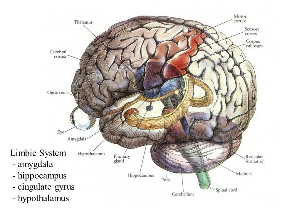 Limbic System - amygdala - hippocampus - cingulate gyrus - hypothalamus