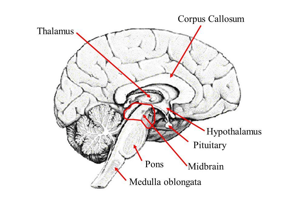 Corpus Callosum Thalamus Hypothalamus Midbrain Pituitary Pons Medulla oblongata