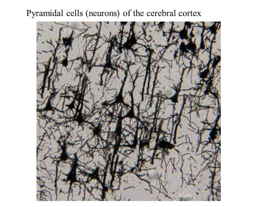 Spinal nerve dorsal root Dorsal root ganglion sensory motor Sensory neuron cell body Motor neuron cell body Organization of the Spinal Cord Ventral root
