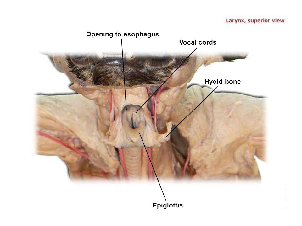 Vocal cords Epiglottis Opening to esophagus Hyoid bone