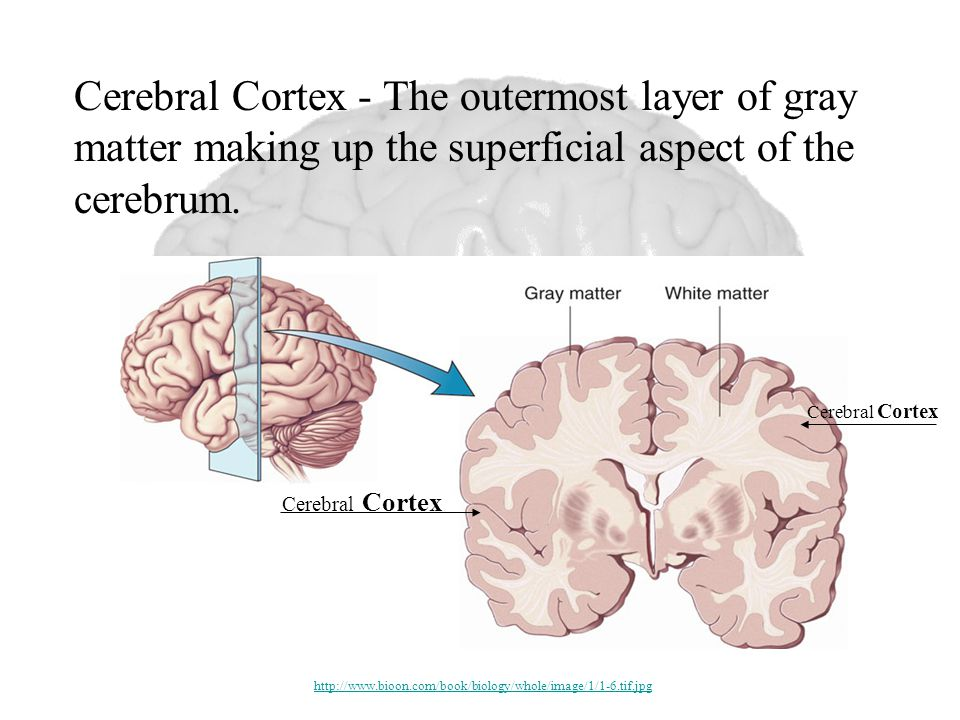 Cerebral Cortex Cerebral Cortex - The outermost layer of gray matter making up the superficial aspect of the cerebrum.