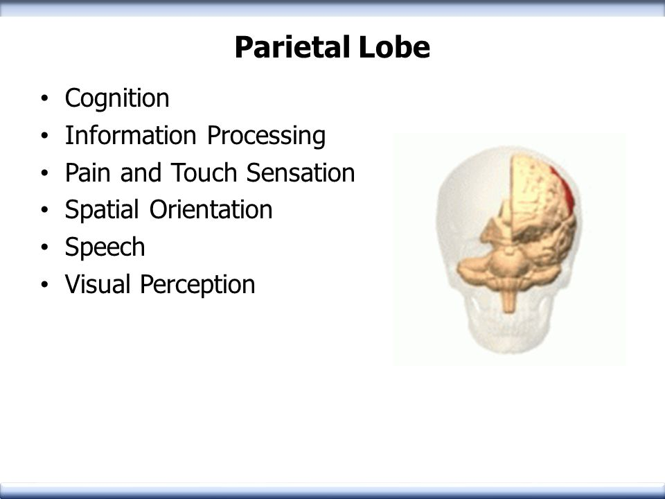 Parietal Lobe Cognition Information Processing Pain and Touch Sensation Spatial Orientation Speech Visual Perception