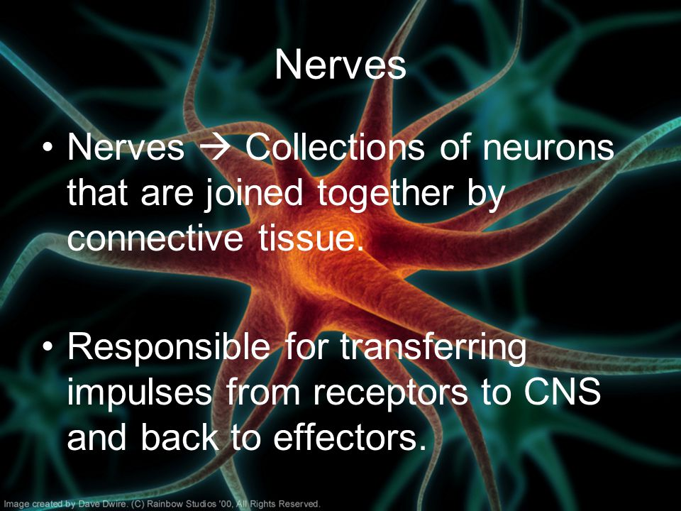 Nerves Nerves  Collections of neurons that are joined together by connective tissue.