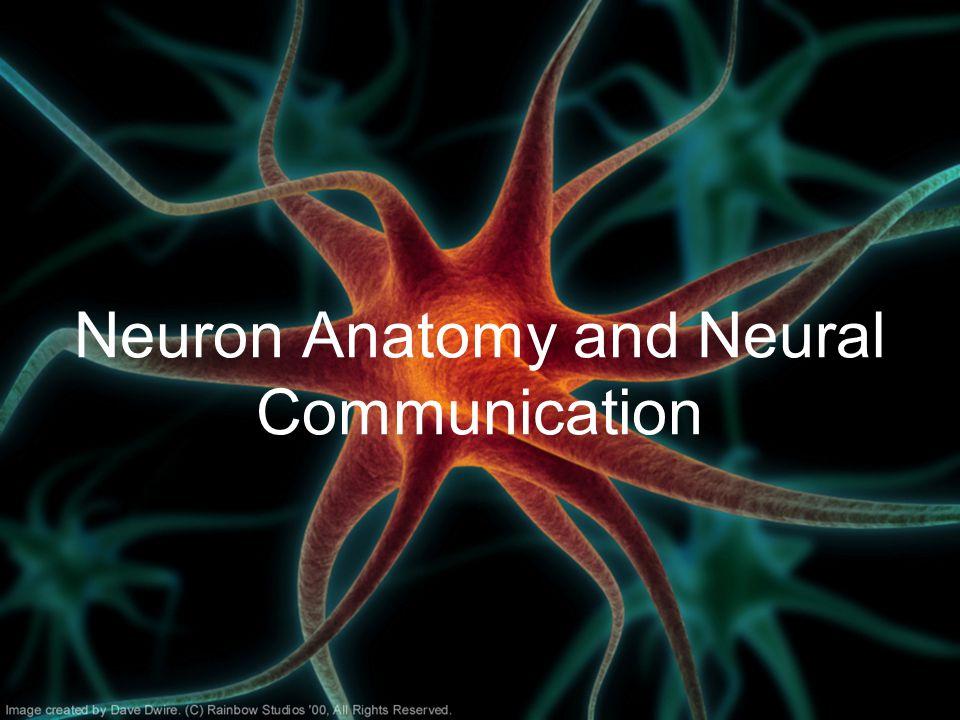 Neuron Anatomy and Neural Communication