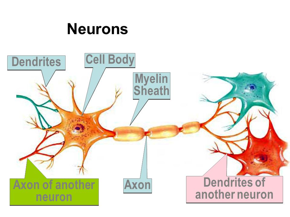 Neurons Axon of another neuron Cell Body Dendrites Axon Myelin Sheath Dendrites of another neuron