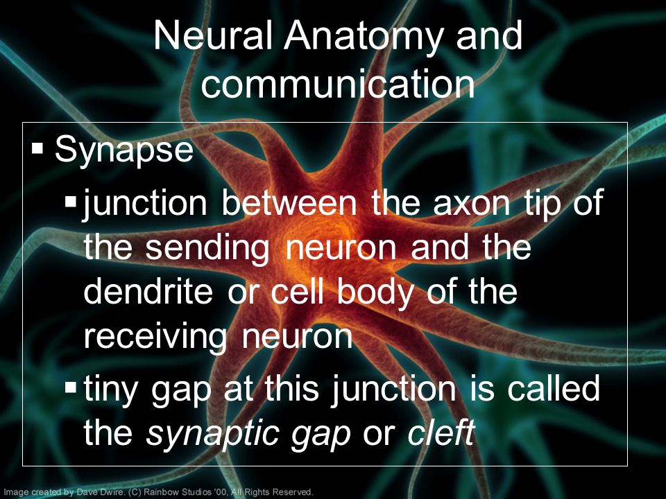Neural Anatomy and communication  Synapse  junction between the axon tip of the sending neuron and the dendrite or cell body of the receiving neuron  tiny gap at this junction is called the synaptic gap or cleft