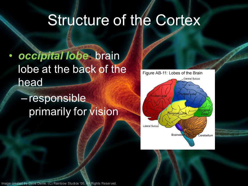 Structure of the Cortex occipital lobe: brain lobe at the back of the head –responsible primarily for vision