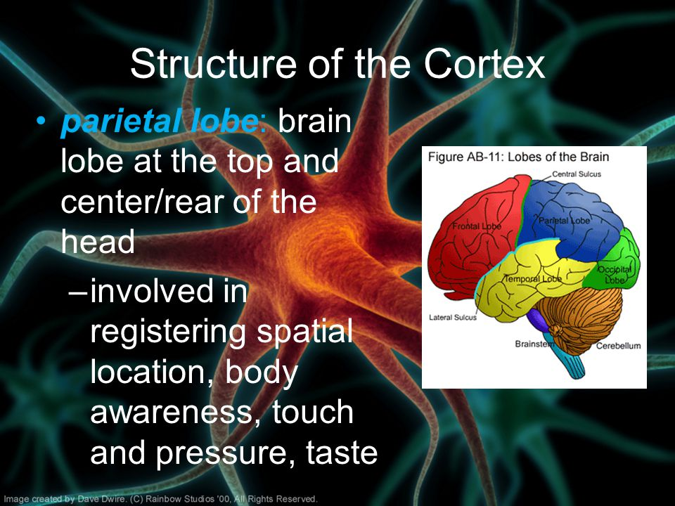 Structure of the Cortex parietal lobe: brain lobe at the top and center/rear of the head –involved in registering spatial location, body awareness, touch and pressure, taste