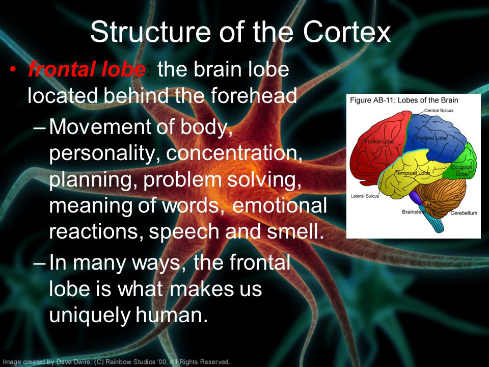 Structure of the Cortex frontal lobe: the brain lobe located behind the forehead –Movement of body, personality, concentration, planning, problem solving, meaning of words, emotional reactions, speech and smell.