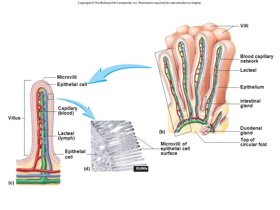 20,000x (c) Villus Epithelial cell Lacteal (lymph) Capillary (blood) Epithelial cell Microvilli Microvilli of epithelial cell surface Villi Blood capillary network Lacteal Epithelium Intestinal gland Duodenal gland Top of circular fold (b) (d)