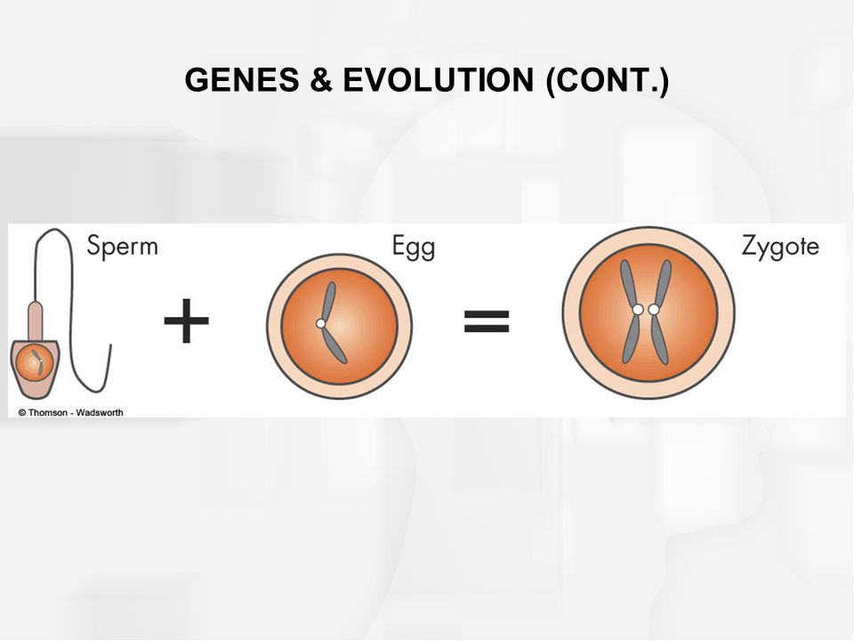 Zygote –the largest human cell, about the size of a grain of sand –a zygote is a cell that results when an egg is fertilized –a zygote contains 46 chromosomes arranged in 23 pairs